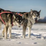 These sled dogs can haul ass and run for days. Amazing creatures!