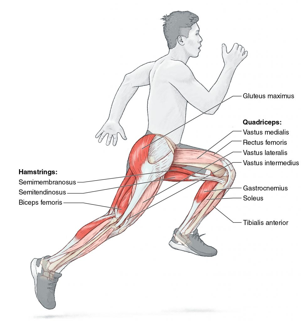 Muscles Involved in Bounding